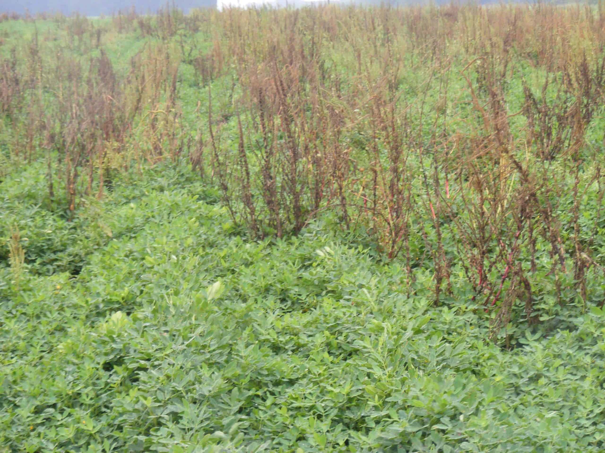 Grassworks-Manufacturing-Dying-Pigweeds-in-GA-peanuts